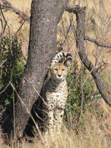 cheetah-1-224x300