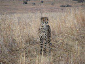 cheetah-4-300x225